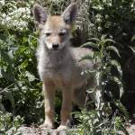 """""""Coyote Pup looking out of den - 5611"""" by BartElder"""