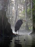 Crystal River Heron