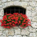 """Stone Wall Geraniums"" by DonnaCorless"