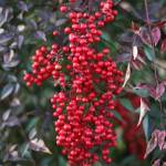 """Winter Red Berries"" by nadinerippelmeyer"