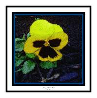 Pansy 5