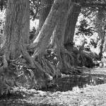"""Cypress Trees On The Frio River"" by tex"