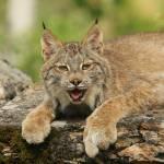 """""""Lynx"""" by MarkWells"""