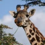 """""""Baby giraffe"""" by jdparker"""