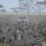 """Heard of zebra"" by jdparker"