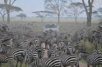 Heard of zebra