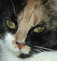 Calico Cat Closeup