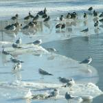 """2-5-05 Birds on Ice"" by Mick553"