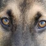 """""""German Shepherd"""