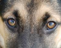 German Shepherd's Eyes