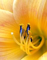Yellow Day Lily macro #29