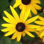 """Black-eyed Susans"" by robbdee40"