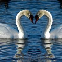 Swan Heart Art Prints & Posters by Dale Shawgo