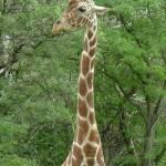 """""""Giraffe Gentleness"""" by crazyabouthercats"""
