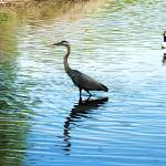"""""""Great Blue Heron & Freind"""" by courtbass"""