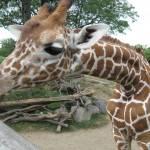 """giraffe"" by sarahbee17"