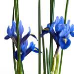 """""""Iris II"""" by dawnleblanc"""