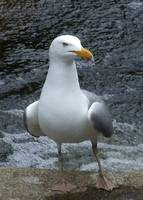 Mature Maine Gull