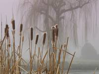 Cat-tails and Fog