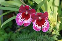 Orchids - Red-Purple