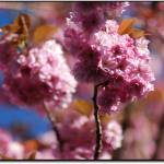 """Cherry Blossoms"" by niallmac"