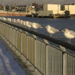 """Ring-billed Gulls along Columbia St. Pier"" by citybirder"