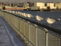 Ring-billed Gulls along Columbia St. Pier