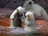 Polar Bear Cubs 2