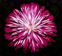 Pink striped Chrysanthemum