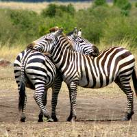 """zebras reunited"" by Rob Willock"