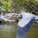 """Blue Heron"" by JoshuaAMills"