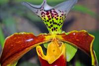 An orchid best described as a