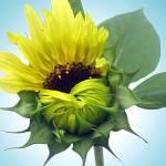 """Sunflower Bloom"" by dchristi"