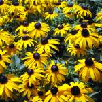 """Black-Eyed Susans"" by dchristi"