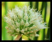 green onion tips...