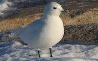 Ivory Gull in Plymouth Harbor, Massachusetts 1-24-