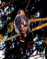 Red Tail Hawk ll