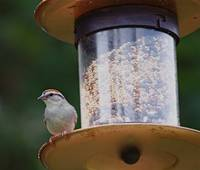 Chipper Chipping Sparrow