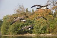 More Geese!