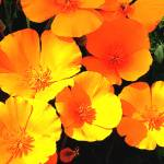 """Orange Poppies"" by Kirby"