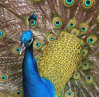 Peacock With an Attitude