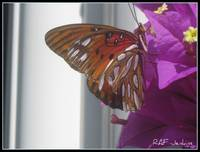 Butterfly on Bougainvilla