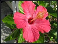 Hibiscus blooming in December in Florida
