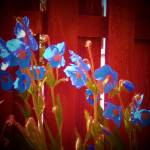 """blue flowers"" by traceywaters"