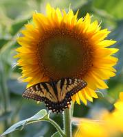The Swallowtail and the Sunflower