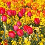 """""""Tulips in London"""" by nunavut"""