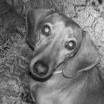 """Miniature Dachshund in Black and White"" by ryanclarkfilm"