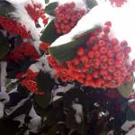 """Snow Covered Berries"" by Iphoneunplugged"