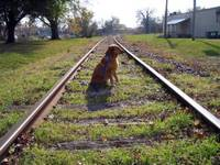 dog on train tracks