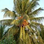 """coconut tree"" by hartage"